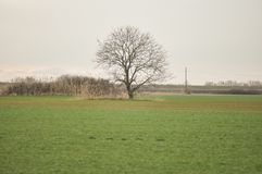 Single tree. One single naked oak tree on a field in winter royalty free stock images
