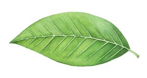 Green leaf watercolor painting. One single object, bright color, close up. Symbol of life, health, prosperity, new beginning, the renaissance of nature. Hand stock illustration