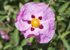 One Single Pink Cistus Purpureus Flowers - Orchid Rockrose Royalty Free Stock Photos