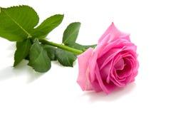 One single pink rose on white Royalty Free Stock Image