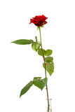 One single red rose Royalty Free Stock Photos