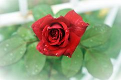 One single red rose with drops of dew on petals and green leaves on the background. Clarified background. One single red rose with drops of dew on petals and royalty free stock photography