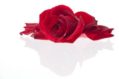 One single red valentines rose. GN. One single rose laying on a glass surface. GN royalty free stock photos