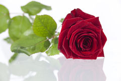 One single red valentines rose.GN Stock Images