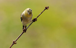 One single small yellow bird sitting on a branch. Stock Photo