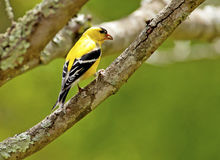 One single small yellow bird sitting on a branch. Royalty Free Stock Photo