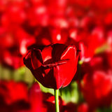 One single tulip over Red flower background texture Stock Image