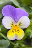 One single Viola cornuta tricolor Royalty Free Stock Images