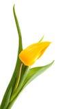 One single yellow Dutch Tulip Stock Images