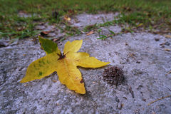 One single yellow leaf on ground. A single bright yellow leaf that has fallen off a tree at the beginning of fall Stock Photography