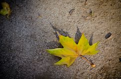 One single yellow leaf. On the ground at fall Stock Photo