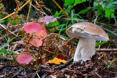 One singl Boletus edulis with some autumn leaves Royalty Free Stock Image