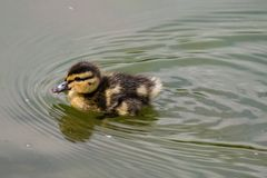 One single young mallard duckling stock images
