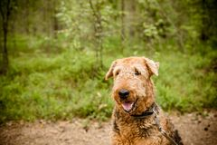 One sitting Black brown Airedale Terrier dog isolated on nature forest background.A beautiful portrait photography of a. One sitting Black brown Airedale Terrier Royalty Free Stock Photography