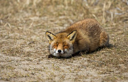 Sleepy Red Fox Royalty Free Stock Image