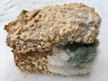 One slice of wholemeal bread overgrown with food mold fungi Royalty Free Stock Photos