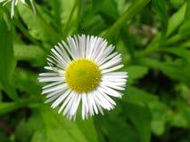 One, small, beautiful, Daisy royalty free stock photo