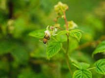 One small bee pollination flower on raspberry cane Royalty Free Stock Image