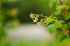One small bee pollination flower on raspberry cane Royalty Free Stock Photography