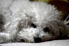 One small Bichon Frise stock image
