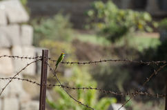 One small bird sitting on the barbed wire. One orange and green bird sitting on the barbed wire from grass background Royalty Free Stock Images