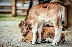 One small calf went to his lying little fellow and gently laid his head on it. One small brown calf went to his lying little fellow and gently laid his head on Stock Photography