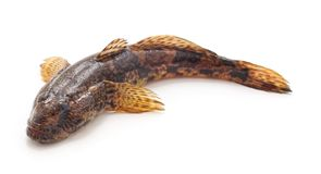 One small fish. On a white background stock photos