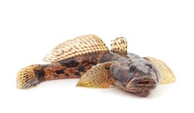 One small fish. On a white background royalty free stock images