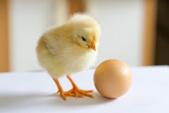 One small fluffy yellow chick standing on a white surface, and l Royalty Free Stock Photography