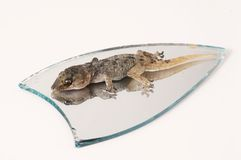 One Small Gecko Lizard and Mirror Royalty Free Stock Photography