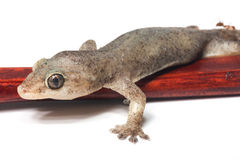One Small Gecko Lizard Royalty Free Stock Images