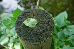 One green leaf on a gray dry stump Stock Photos