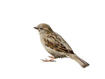 One small grey sparrow on white. One small grey sparrow on a white background Stock Photography
