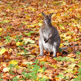 One small kangaroo standing in autumn leaves Stock Photos