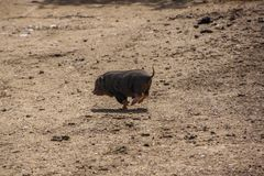 One little pig runs away stock photos