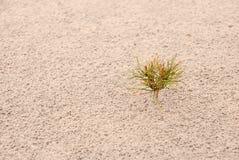 One small pine on sand. Horizontal Stock Photos