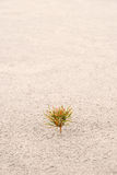 One small pine on sand. Vertical Royalty Free Stock Photography