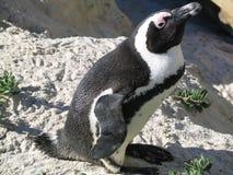 One small pinguino is alone stock photo