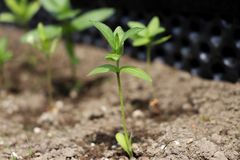 A one small plant also known as seedling. New era plants is here this springtime. Daily light royalty free stock photography