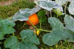 One small pumpkin still hiding under the vines stock photo