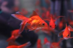 Red goldfish in the aquarium. One small red goldfish in the aquarium that separated from the pack Royalty Free Stock Photo