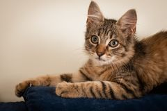One Small three month kitten mixed breed royalty free stock images