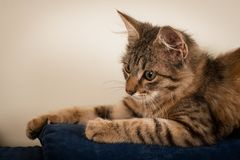 One Small three month kitten mixed breed stock photography