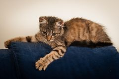 One Small three month kitten mixed breed royalty free stock image