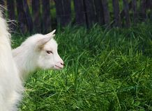 One small white young goat head among green grass. On a warm spring day looking sad and scared, seeking protection and hiding Royalty Free Stock Image