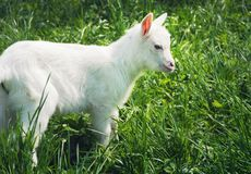 One small white young goat standing sidewise Royalty Free Stock Images
