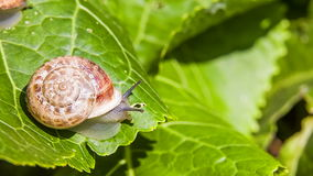 One Snail on a Green Leaf Stock Photography