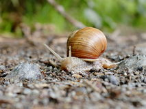 One snail on sandy ground Royalty Free Stock Image