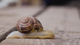 One snail on a wooden surface. side view. Big garden snail on a wooden surface creeps. side view stock video