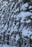 One snow covered spurce forest, close, vertical image Stock Images